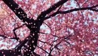 10桃花樱花花瓣飘落的高清LED视频背景