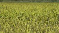 水稻 生长