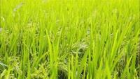 水稻开花时期