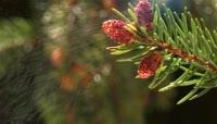 松树塔散播花粉