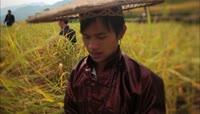 梯田水稻收割 糯米