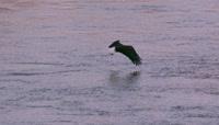 慢镜头 老鹰 飞翔在海面