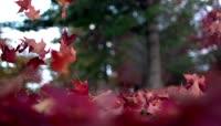 慢镜头 枫叶掉落