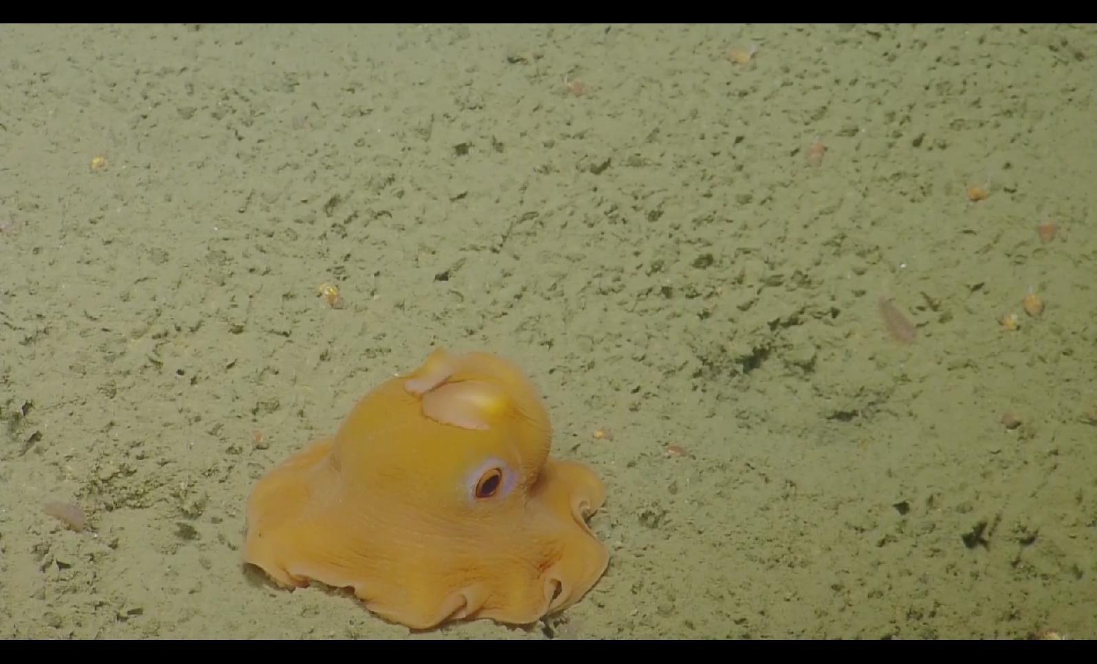 BS 072 小飞象章鱼