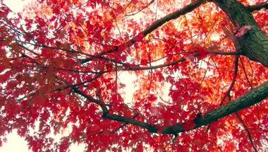 唯美阳光穿过树林枫叶视频素材