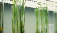 杂交水稻实验室种苗生根发芽育种研究员农业科研实验