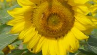 4K蜜蜂蝴蝶向日葵花朵