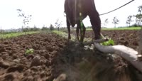 ST00691中国古代农民耕田犁地农民丰收稻谷