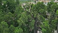 ST00938地球最老的柏树陕西黄帝陵航拍