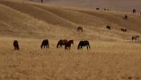 ST01781甘肃张掖市山丹军马场牧场草原溪流健壮马匹奔跑