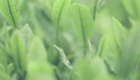 大自然茶园小草清新视频