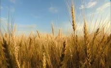 农业  小麦 机器收割  灌溉农田