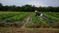 在草莓基地采摘草莓