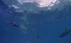 海豚高清实拍视频素材