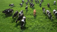可爱的小牛奶牛草原牧场风景大自然动物高清实拍视频素材