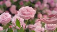 浪漫玫瑰花园实拍视频
