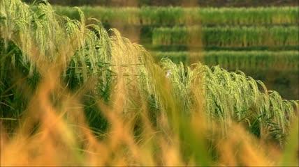 少数民族种田水稻稻田