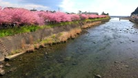 樱花绽放赏樱花的人群
