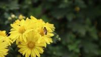 公园菊花蜜蜂采蜜实拍视频素材