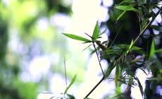 水流竹叶实拍素材