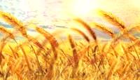 金色风吹麦浪视频