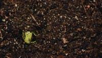 绿色生命种子发芽植物生长延时拍摄