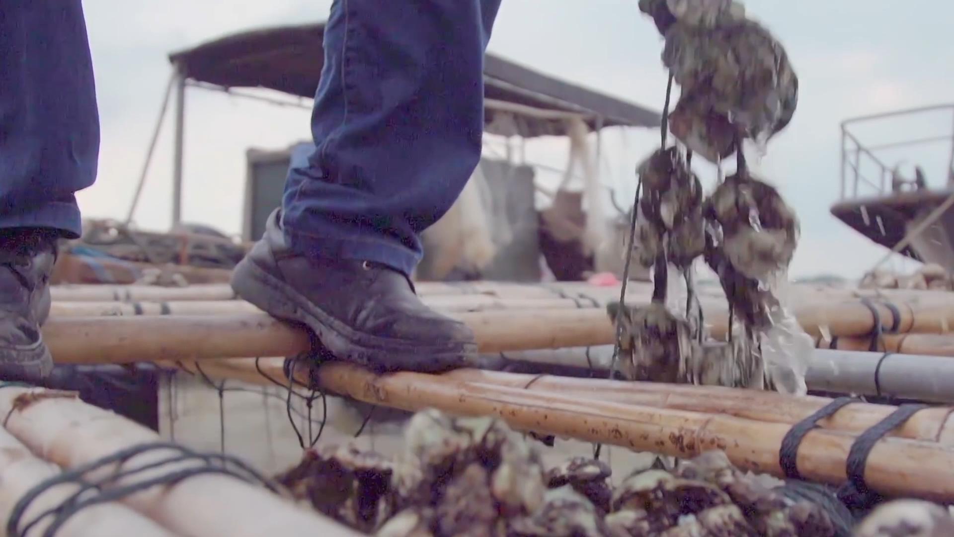 生蚝养殖与收获