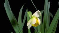 可抠像的实拍花朵开放的视频素材