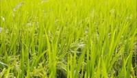田间刚开花水稻实拍视频