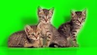 可爱小宠物猫抠像