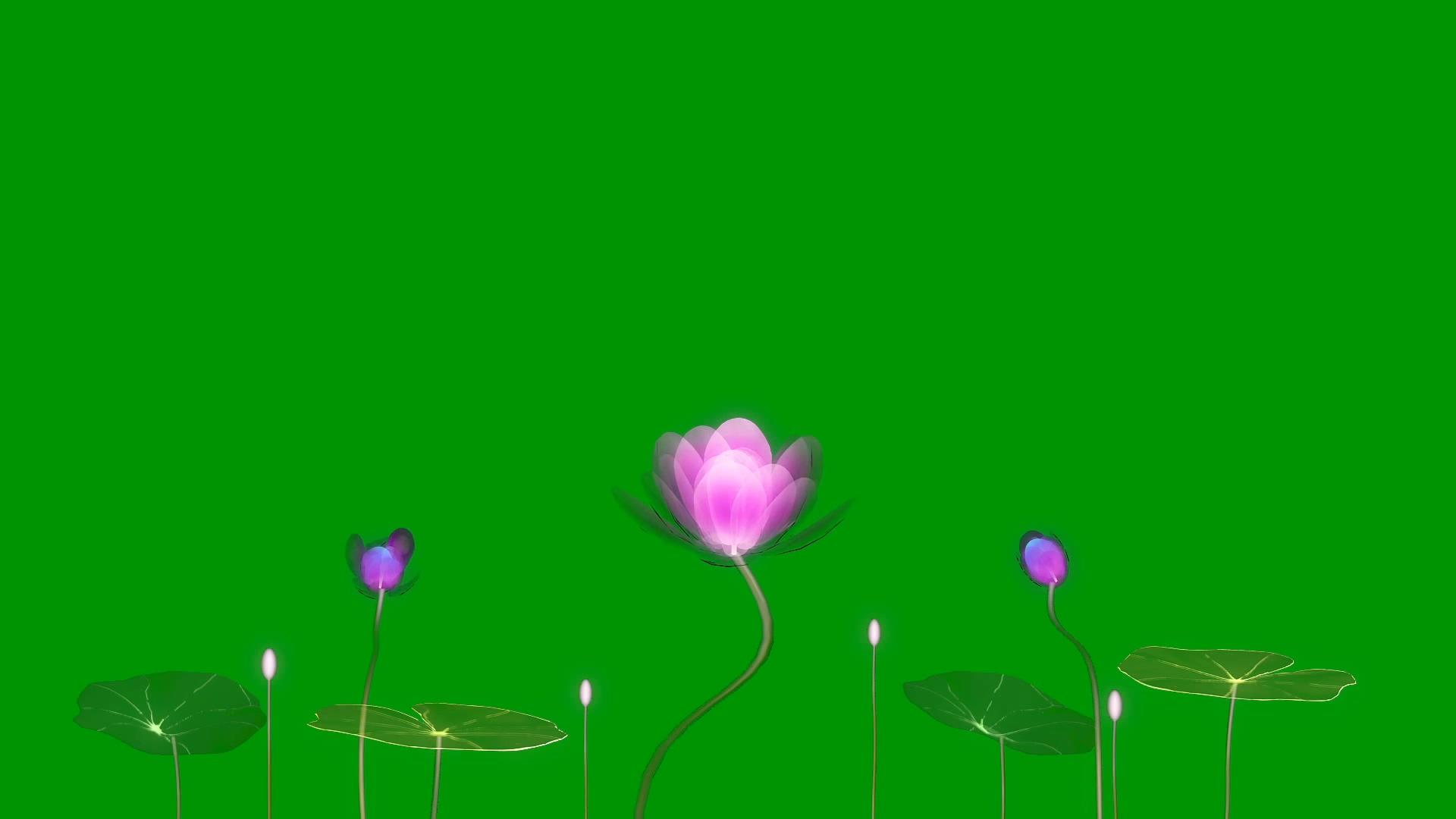 绿屏抠像盛开的荷花荷叶