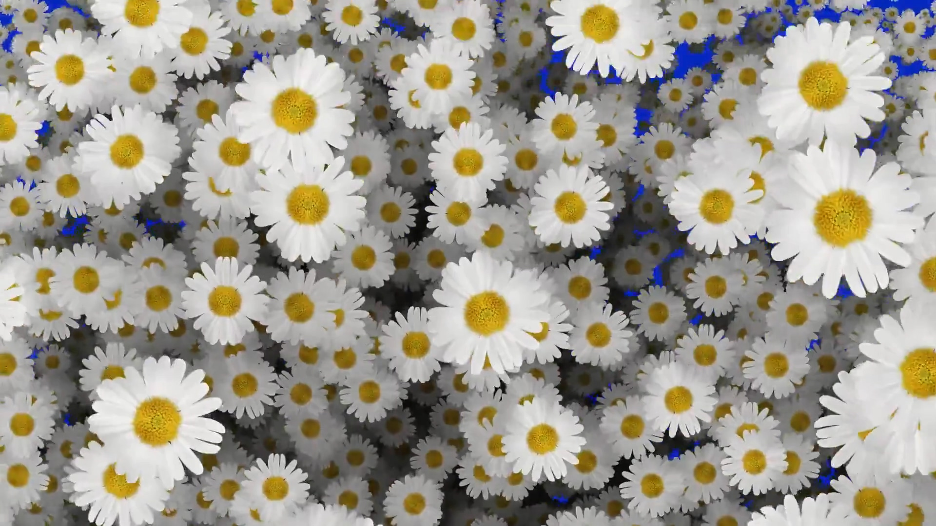 蓝屏抠像下降的白色菊花