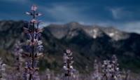 雪山融化山脚的野花高清实拍视频素材