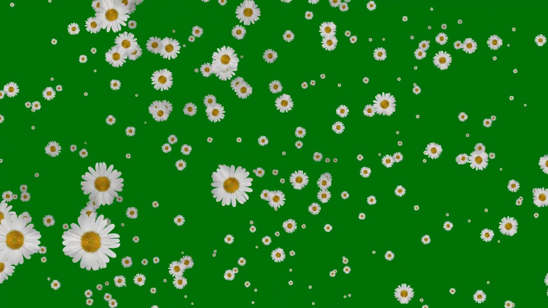 绿屏抠像飘落的白色菊花