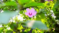 木槿花高清实拍视频素材