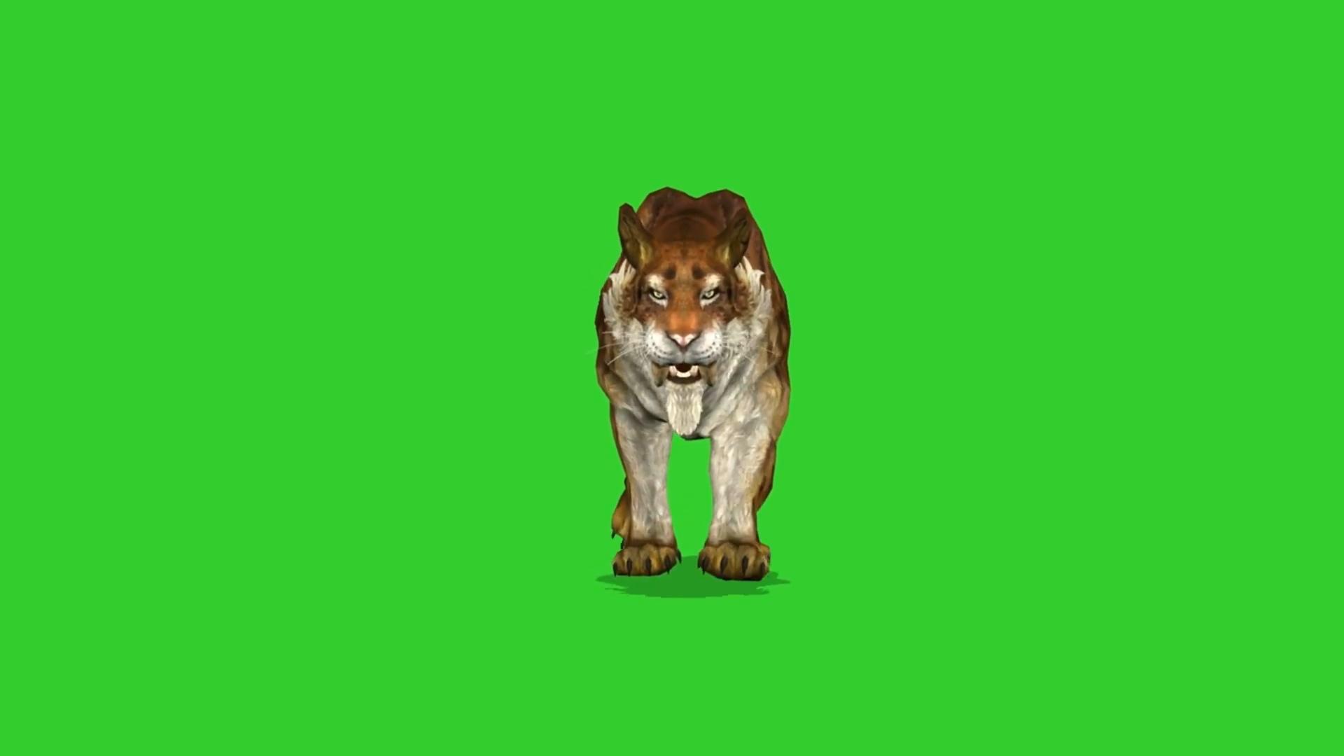 绿屏抠像孟加拉剑齿虎