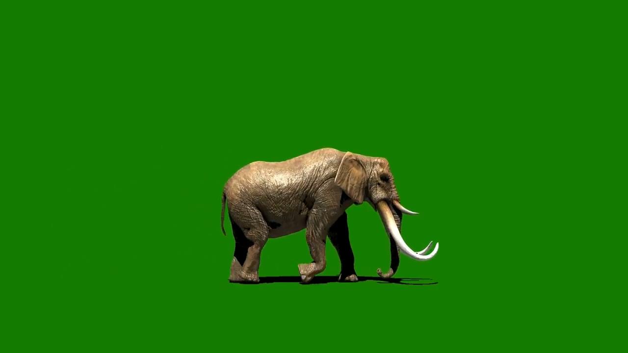 绿屏抠像行走的大象