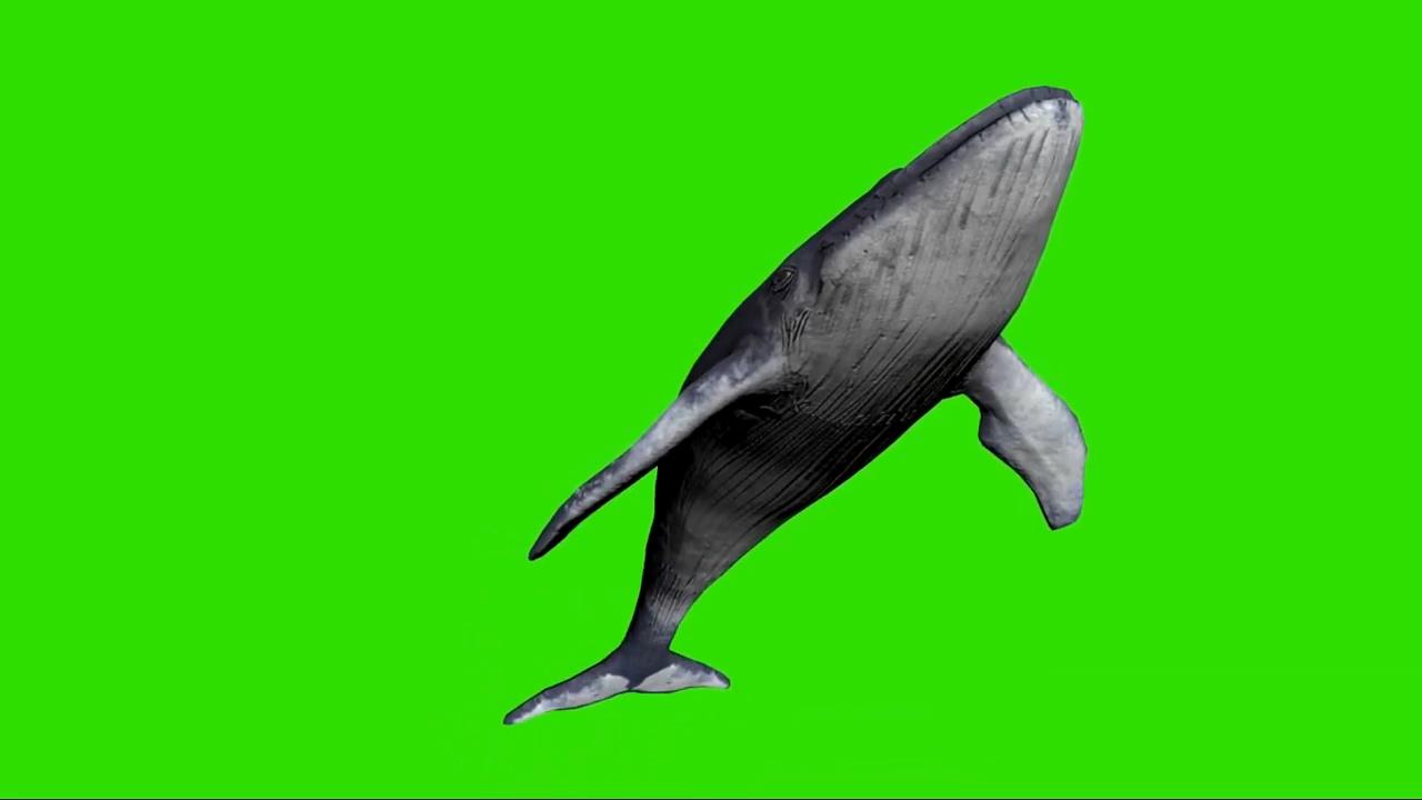 绿屏抠像游泳的蓝鲸