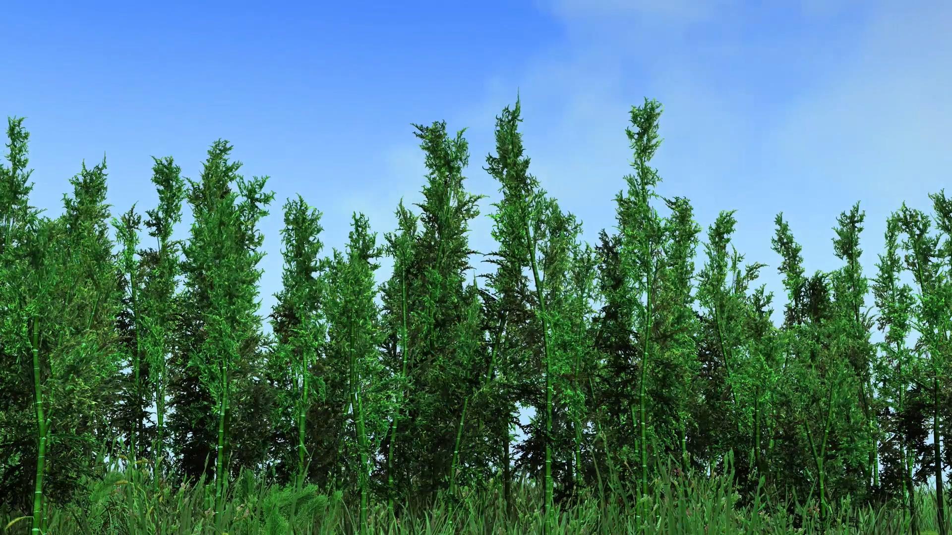 蓝天白云被风吹动的竹子林